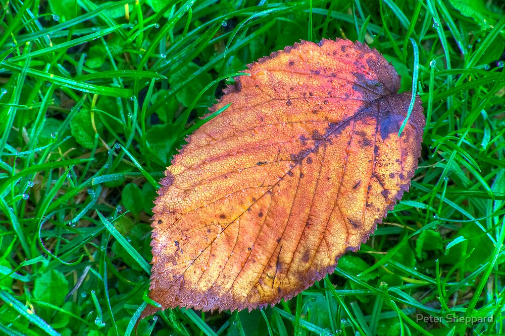 First leaf of Autumn by Peter Sheppard