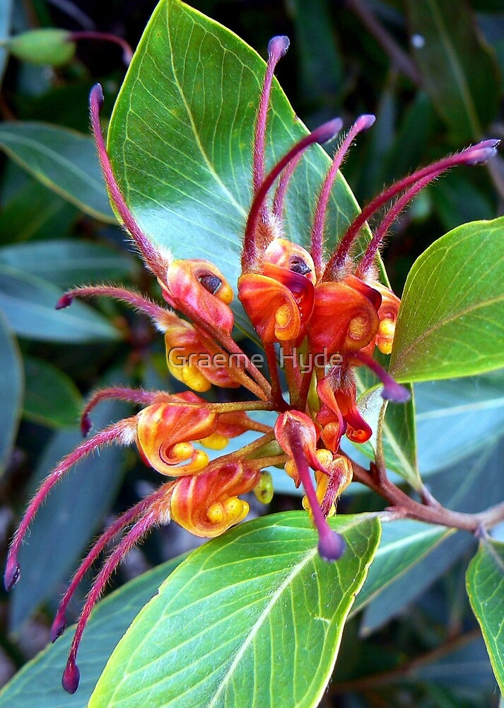 Grevillea at O'Reilly's by Graeme  Hyde