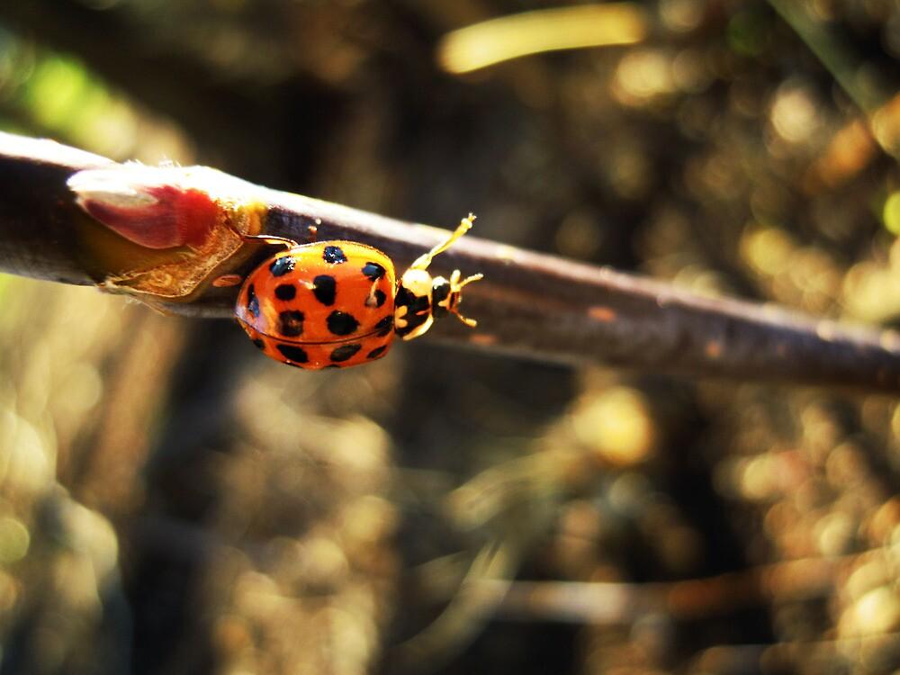 Close-up of Lady Bug by Yirikoshi