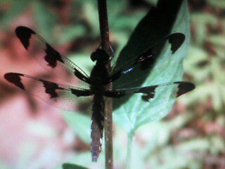 black dragonfly in NC by DigiPic's Photography
