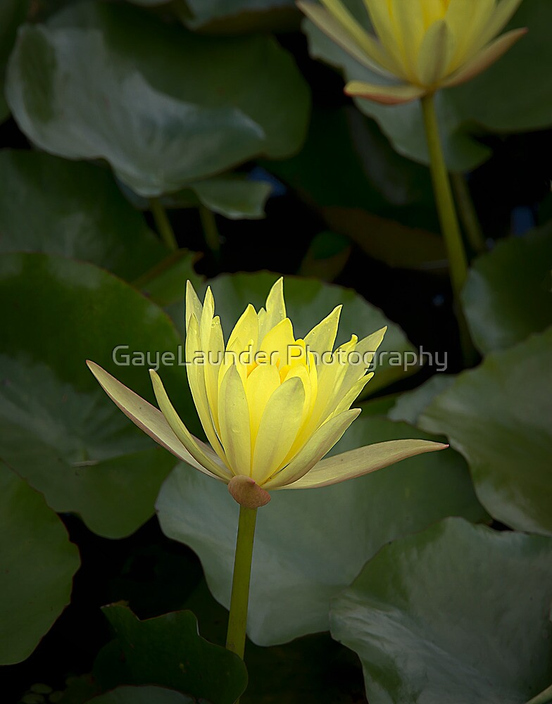 Lily Pad by GayeLaunder Photography