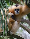 White Cheeked Gibbon and Infant by SD Smart