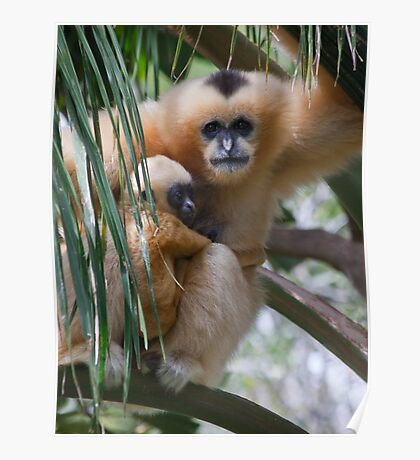 White Cheeked Gibbon and Infant Poster