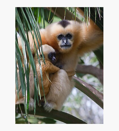 White Cheeked Gibbon and Infant Photographic Print