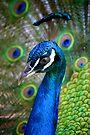 Peacock by Extraordinary Light