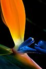 Magnificent Bird of Paradise by Extraordinary Light
