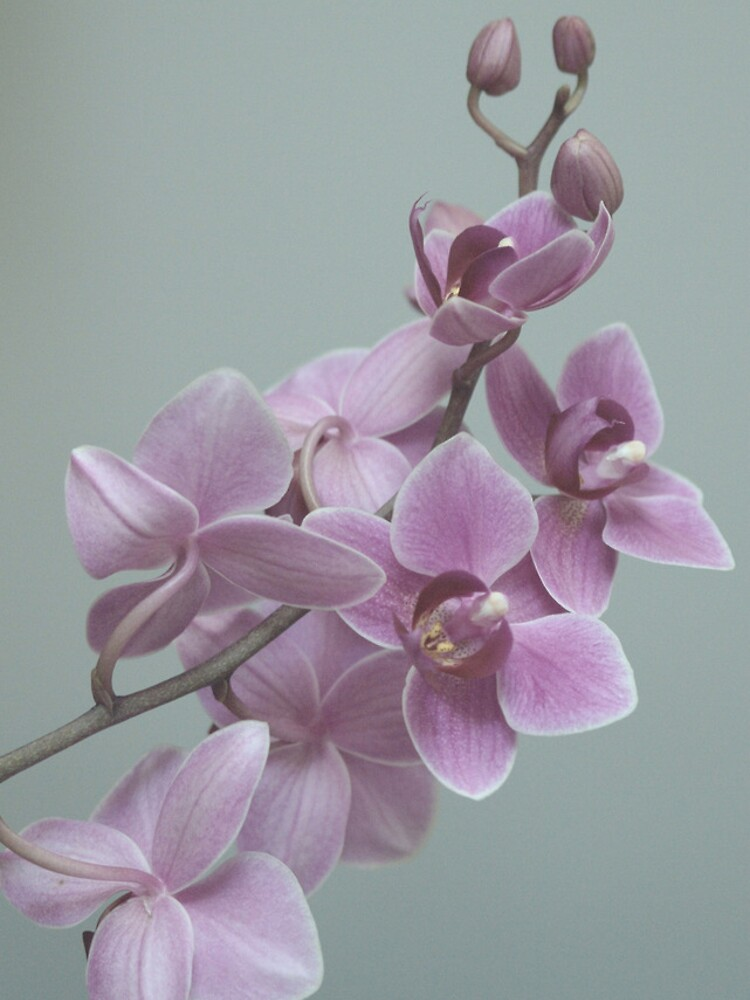 Orchid  composition by rapis60