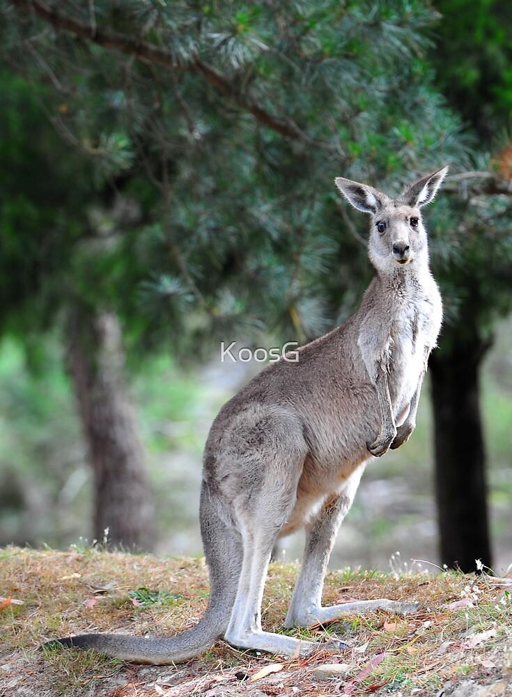 Standing Kangaroo  by KoosG