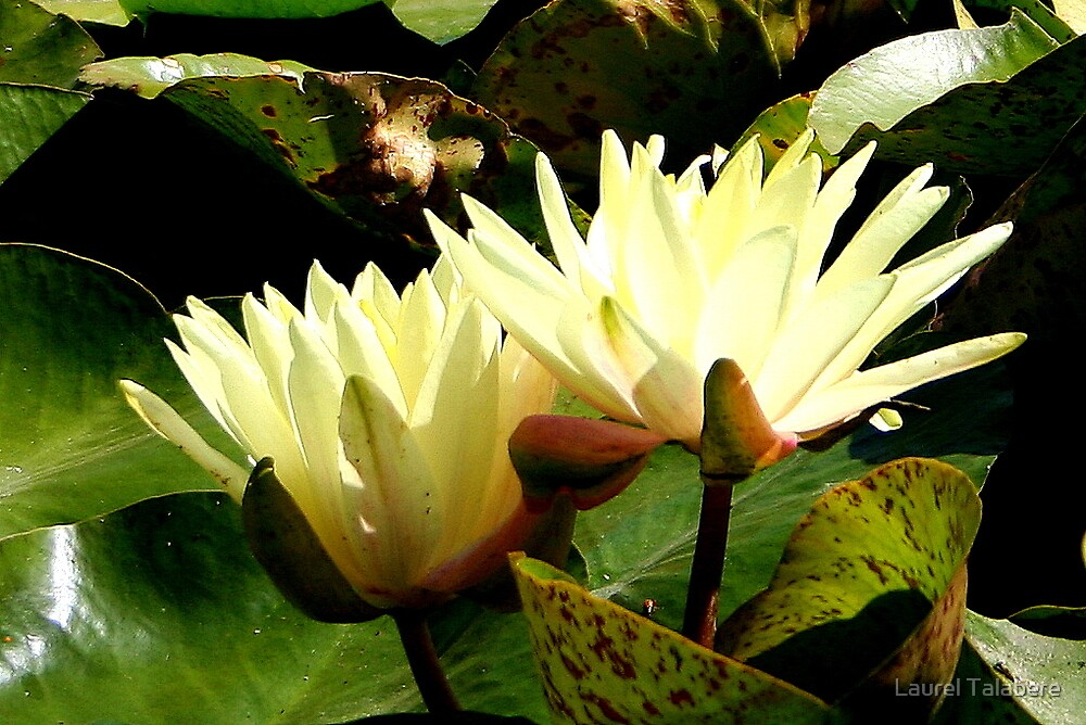 Two Water Lillies by Laurel Talabere
