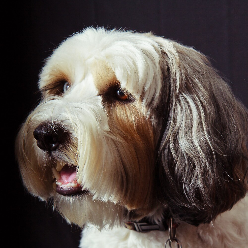 Baci, the Tibetan Terrier by Marvin Mast