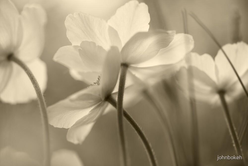 Anemones by johnbokeh