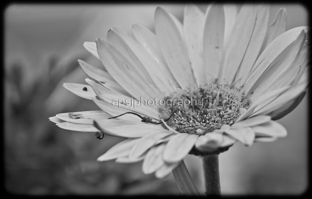 Daisy by apsjphotography
