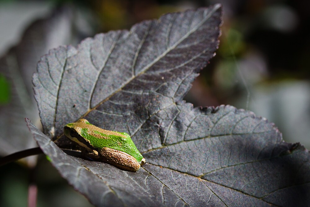 Pacific Tree Frog At Rest by Marvin Mast