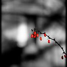 red berries by apsjphotography