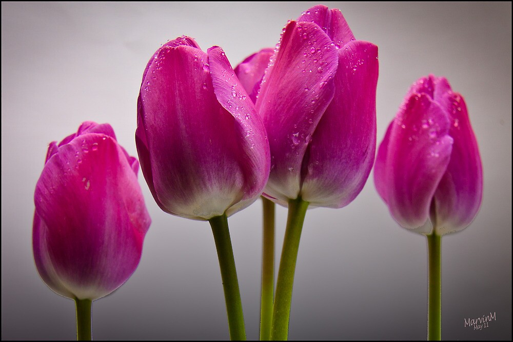 The Four Tulips by Marvin Mast