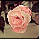 Pink Rose by apsjphotography