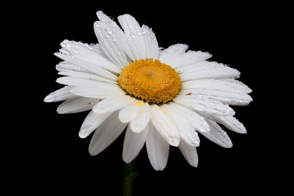 Shasta Daisy In Full Bloom by Marvin Mast