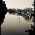 Geese in the Charles by apsjphotography