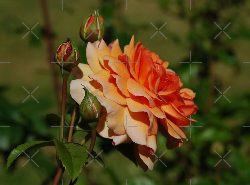 Morning Rose by Ulla Vaereth