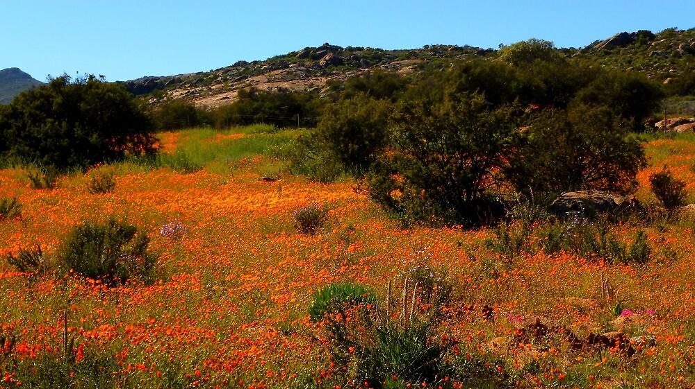 Namaqualand beautiful flowers by supergold