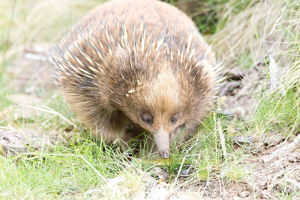 Echidna searching (0170) by Ron Co