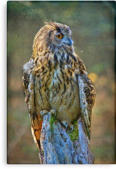 Long eared Owl by Peter D