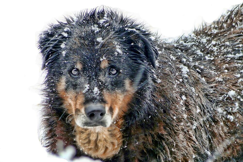 Snow Dog by Carolyn  Fletcher