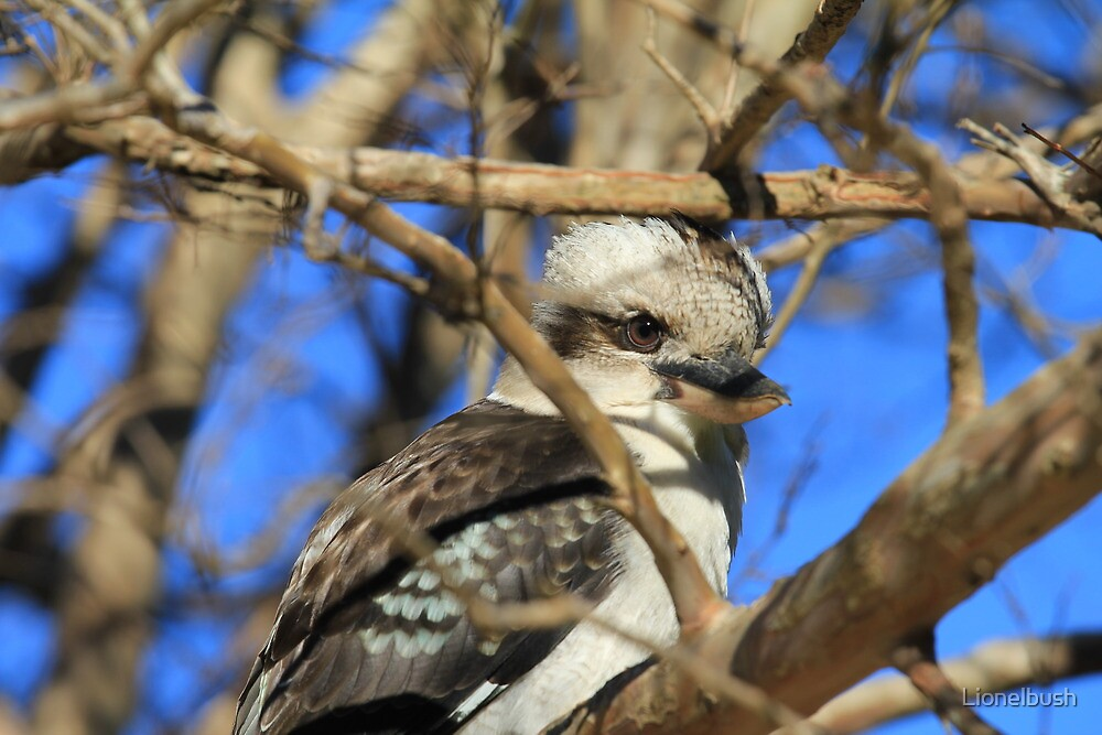 Kookaburra by Lionelbush