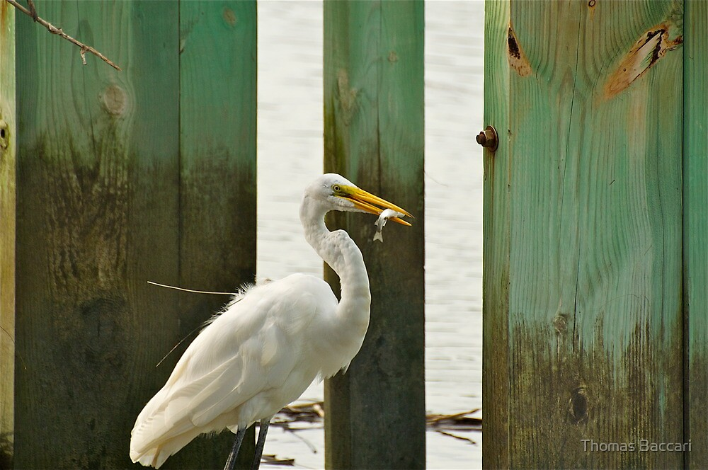 Egret Having Some Breakfast by TJ Baccari Photography