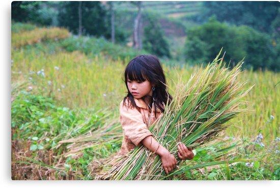 Rice fields by Lionelbush