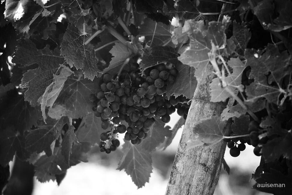 Cabernet Grapes Bordeaux by awiseman