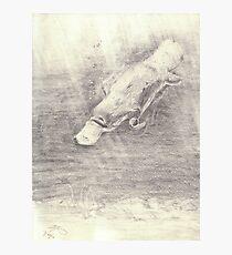 Platypus sketch - pencil Photographic Print