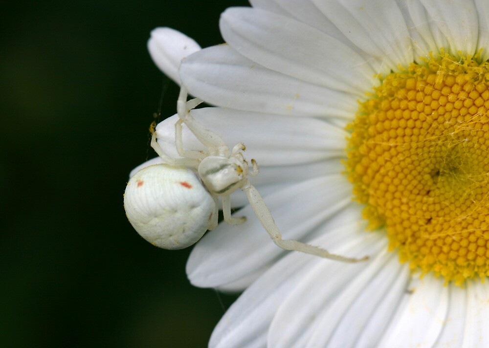 Common crab spider. by Anthony Lee