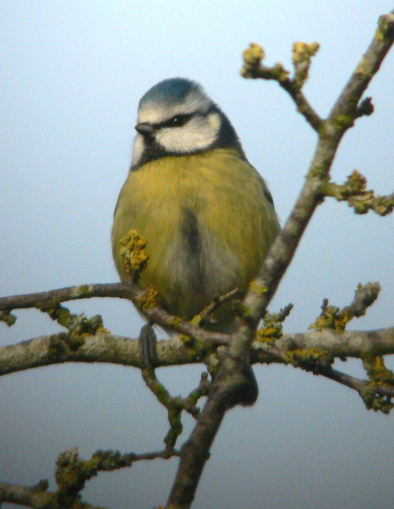 Cheeky blue tit. by Anthony Lee