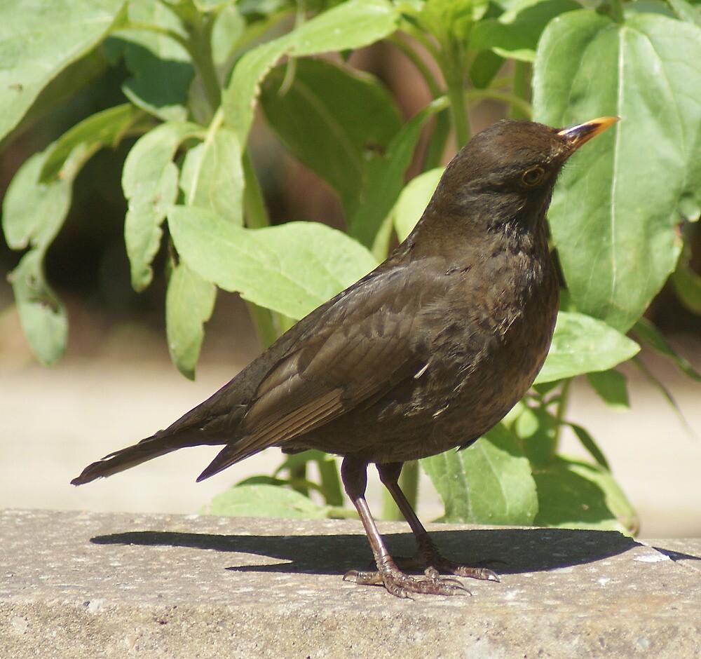Blackbird, coy female by Alan Brown