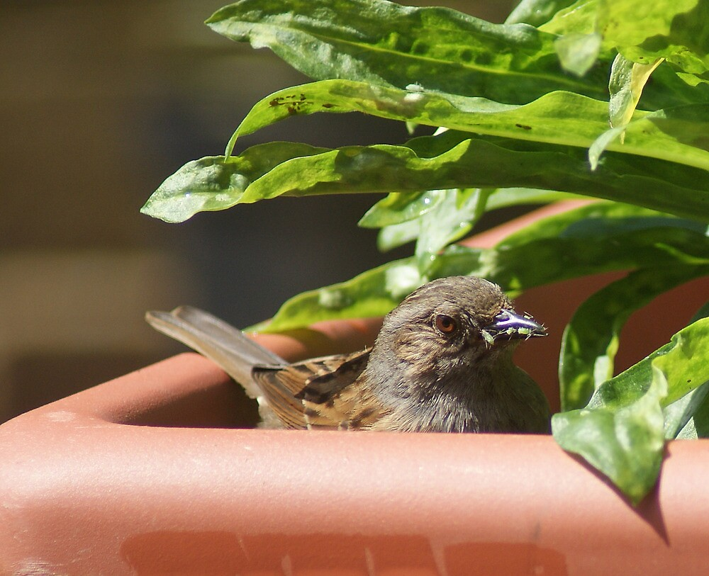 Dunnock collecting greenflies by Alan Brown