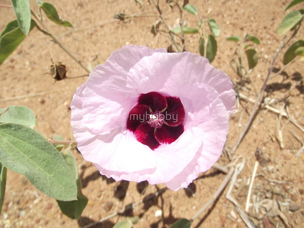 Sturts Desert Rose  - Charters Towers Queensland Australia by myhobby