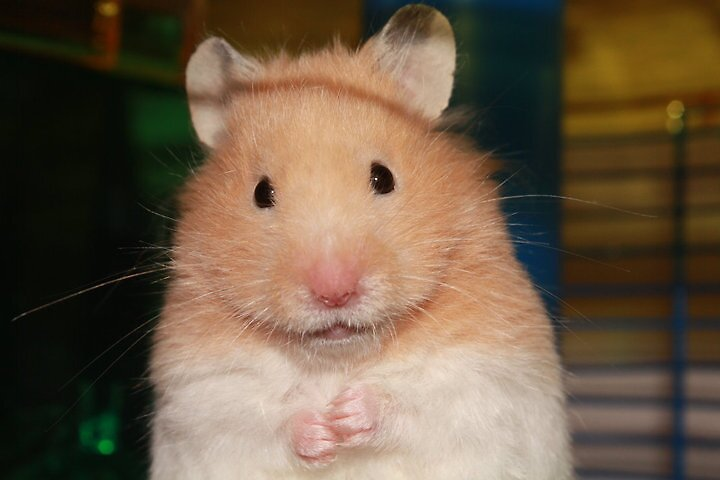 My hamster. Nibbler. <3 by Oceanna Solloway