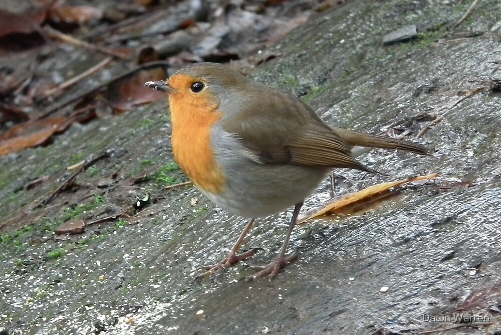 December Robin - Fowey, Cornwall by Dawn Warren