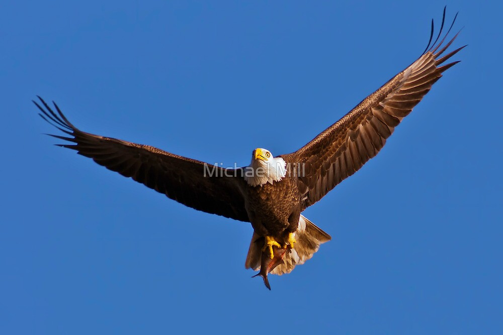 Bald Eagle with Fish by Michael Mill