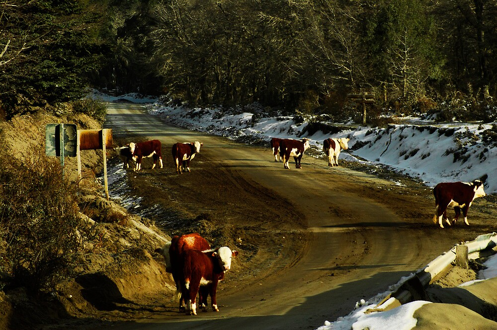 Cows at road by lem2802
