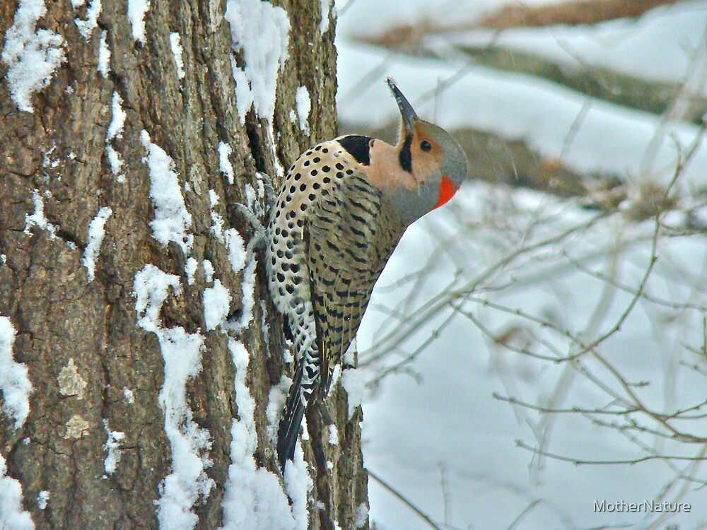 Yellow-Shafted Northern Flicker       Colaptes auratus by MotherNature