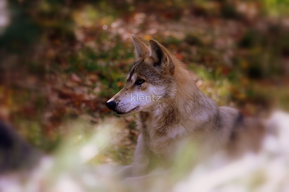 Mexican Wolf by klentz