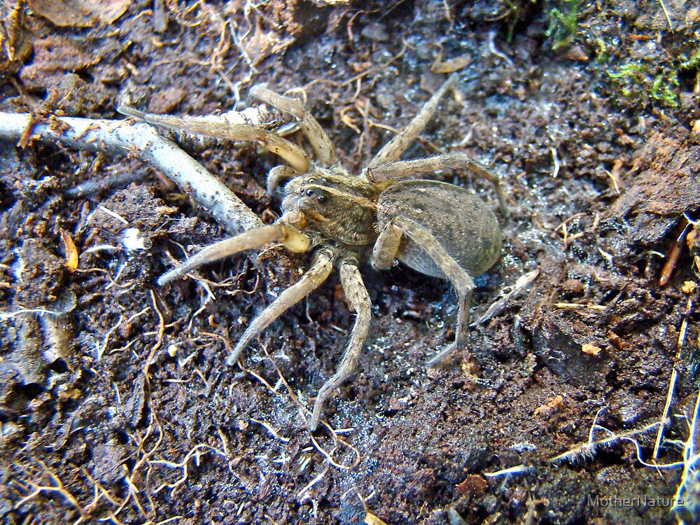 Wolf Spider - Female - Lycosidae Family by MotherNature