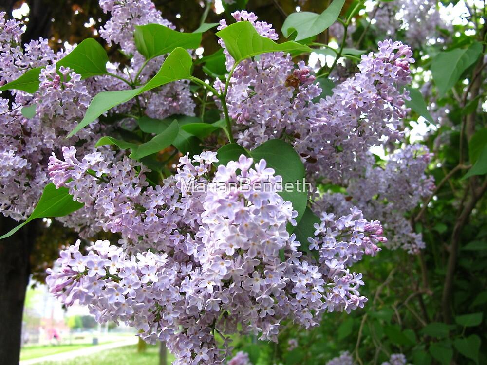 Lilac splendour by MarianBendeth