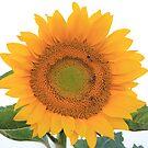 sun Flower by Lionelbush