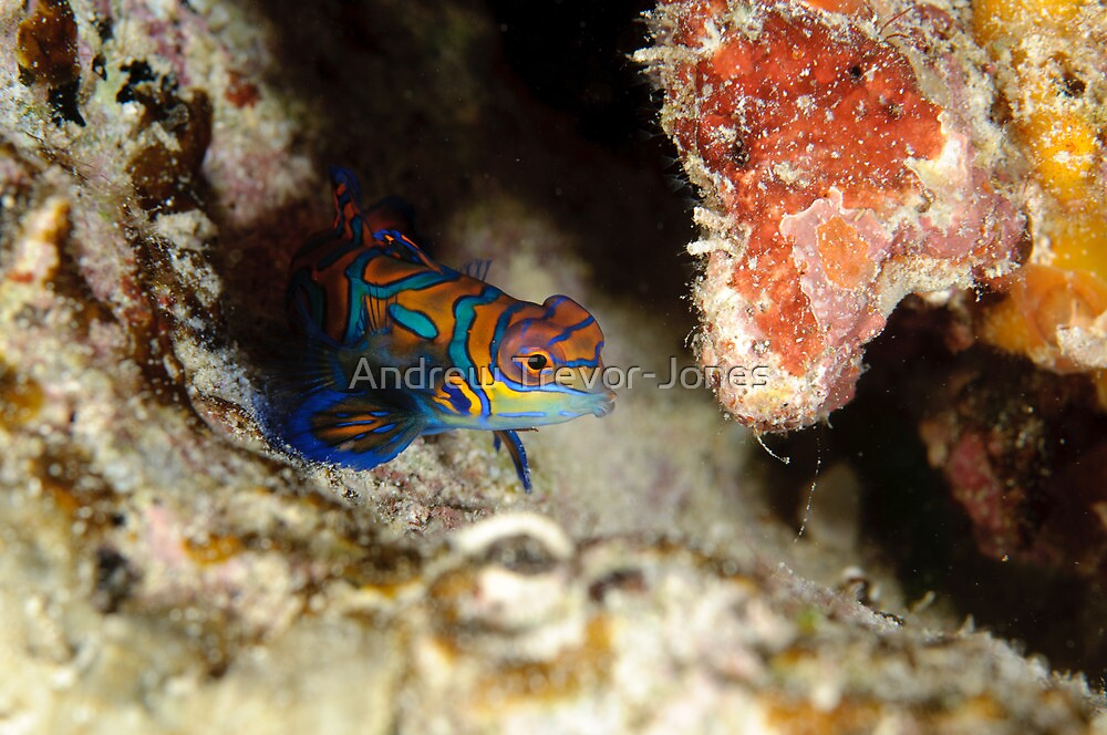 Mandarinfish - Synchiropus splendidus by Andrew Trevor-Jones