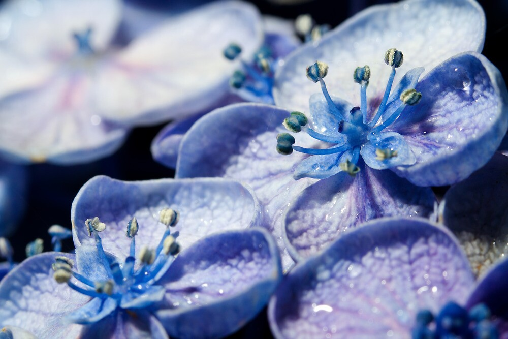 Blue Hydrangeas by Dev Wijewardane
