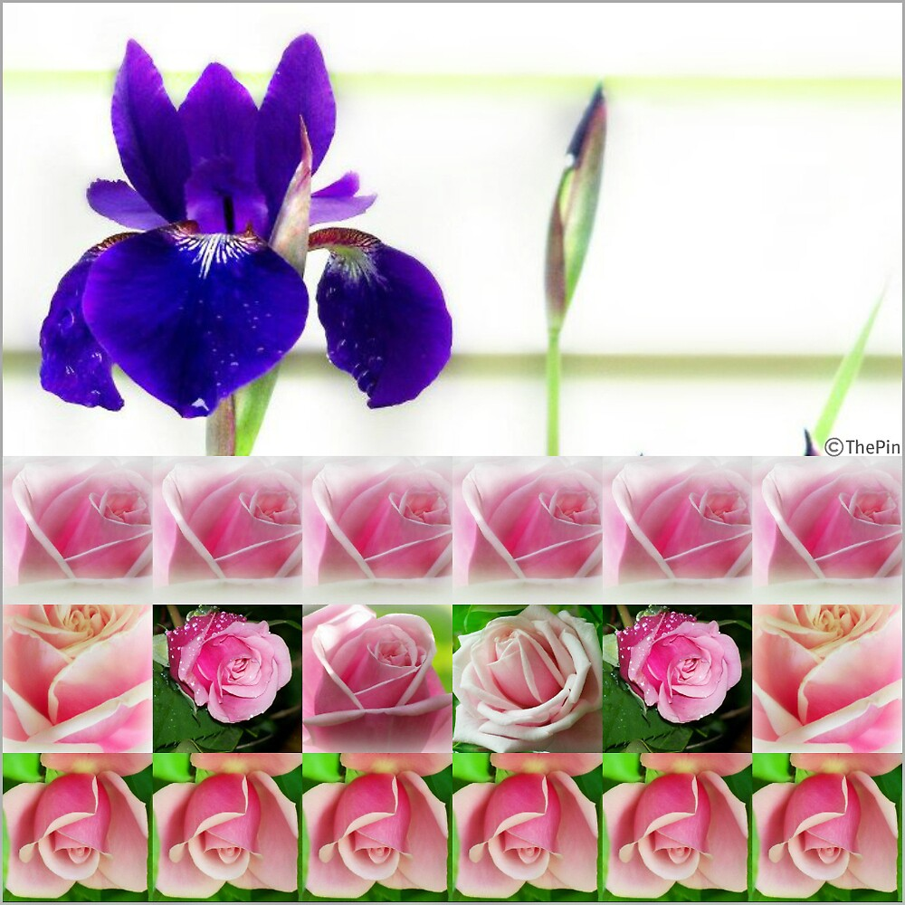 Collage of Roses by saripin