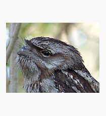 Frogmouth. Photographic Print